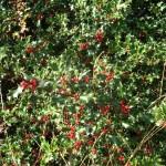 Autumn Hollyberries